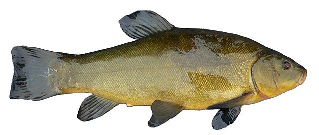 The Invasive Eurasian Tench Fish Could Be Creeping Closer to the Great Lakes