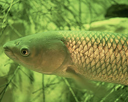 Good News on Funding to Control Grass Carp From Entering the Great Lakes