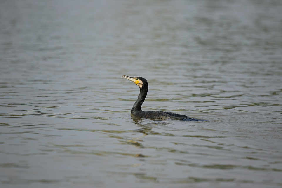 GBA Opposes Proposal to Allow a Cormorant Hunt