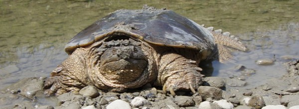 The Highly Misunderstood Snapping Turtle