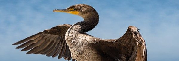 Eminent Scientists Strongly Support GBA Position on the Cormorant Hunt